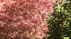 Pink and green leaves blowing in the wind. Stock Footage