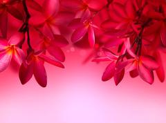 Red Frangipani flower on pink background - stock photo