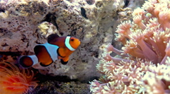 Clown fish swimming in a tank with coral 4K Stock Footage