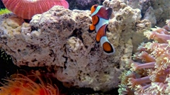 clown fish swimming in a tank with coral 4K - stock footage