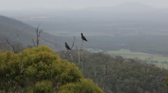 Rare Black Cockatoos sitting on branches Stock Footage