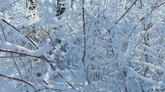 Snowy branches in forest. Beautiful day in forest at wintertime. Moving camera 6 Stock Footage