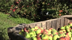 Stock Video Footage of fruit picker woman pick apples and wooden box with fruits. Focus change. 4K
