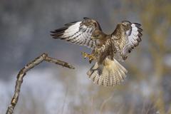 Stock Photo of Common buzzard Buteo buteo landing on branch biosphere area Swabian Jura