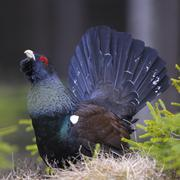 Wood grouse or capercaillie Tetrao urogallus male during courtship Dalarna - stock photo