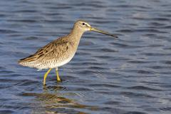 Stock Photo of Short billed dowitcher Limnodromus griseus wading in the tidal marsh Galveston