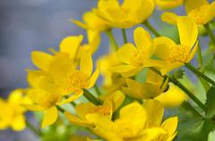 Marsh marigold or kingcup Caltha palustris North Rhine Westphalia Germany Stock Photos