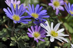 Balkan anemone Grecian windflower or winter windflower Anemone blanda North Stock Photos