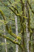 Mossy tree trunks sycamore or sycamore maple Acer pseudoplatanus Grosser Stock Photos