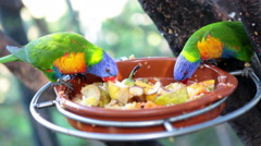 Two green body, blue head and yellow neck small parrots feeding on steel hanging Stock Footage