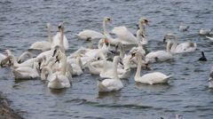 Swans in Danube river. Belgrade, Serbia. Europe - stock footage