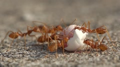 Ants eat on an egg - stock footage