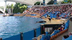 Man animal trainer feeds orca whale at performance, Loro Parque, Tenerife, Spain Stock Footage