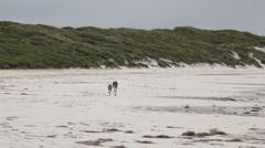 Kangaroos hopping on white beach Stock Footage