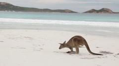 Kangaroos close up on white beach Stock Footage