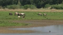 Konik horse, herd with foals alongside riverbank Stock Footage
