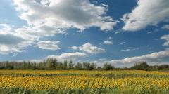 Sunflower field timelapse Stock Footage