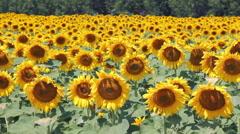 Beautiful Sunflower Field Stock Footage