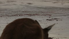 Kangaroos close up on white beach Stock Footage