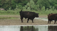 Black Galloway cattle, bull with herd in a nature reserve alongside river Stock Footage