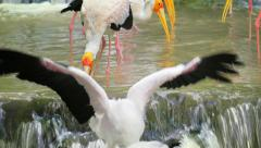 Yellow-billed storks hunt for fish in small creek in wildlife nature Stock Footage