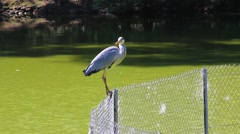 Grey Heron Perched on a Fence Stock Footage