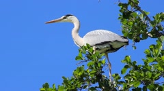 Grey Heron on Tree Branch Stock Footage