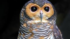 Spotted Wood Owl gazes to camera close up portrait Stock Footage