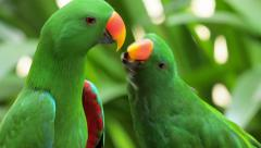 Bird of tropical rainforest large green parrot with orange beak feeds other Stock Footage