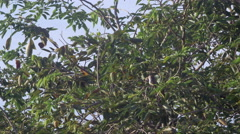 Yellow-vented Bulbul in Tree Stock Footage