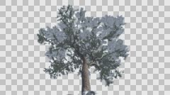 Italian Stone Pine Snow on a Branches Down Up Coniferous Evergreen Tree is Stock Footage