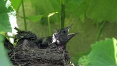 Blackbird chicks waiting beaks open in a nest built on a block of vines their - stock footage