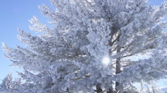Beautiful frosted pine spectacular illuminated by the sun Stock Footage