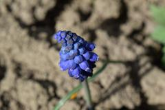 Muscari flowers in the flowerbed Stock Photos
