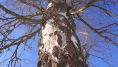 Vertical pan and zoom in shot of leafless birch trunk against blue cloudless sky Stock Footage