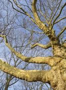 Leafless plane tree branches - stock photo