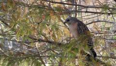 Red-Shouldered Hawk (Buteo Lineatus) Perched on Branch in Florida Before Flyi Stock Footage