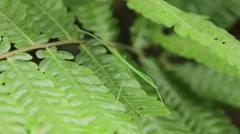 Green Stick Bug Stock Footage