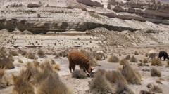 Wild alpacas Stock Footage