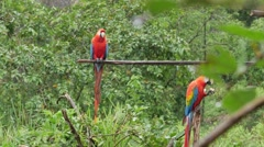 Parrots in the amazonian jungle Stock Footage