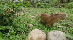 Capybara in the amazonian jungle Stock Footage