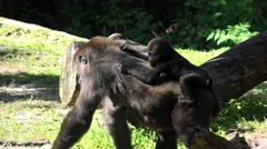 Mother gorilla take care of her baby. - stock footage