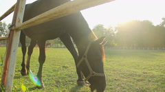 Graceful colt grazing on lush field, beautiful horse eating grass at stud farm Stock Footage