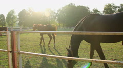 Nice colt and yearling horses grazing on sunlit eco pasture at the stud farm Stock Footage