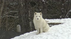 Arctic Fox in winter Stock Footage