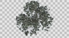 Italian Stone Pine Crown Top Down Winter Coniferous Evergreen Tree is Swaying Stock Footage