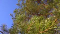 Pine branches with needles swinging against sunny blue sky, slow motion video Stock Footage