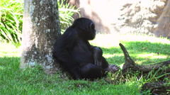 Gorilla take rest in a jungle. Stock Footage