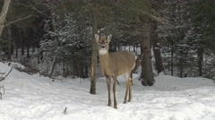 White tail deer in a forest - stock footage