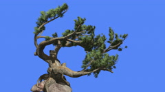 Jeffrey Pine Pinus Jeffreyi Curved Branches Roots Coniferous Evergreen Tree is Stock Footage